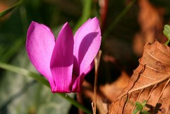 Europeum Cyclamen